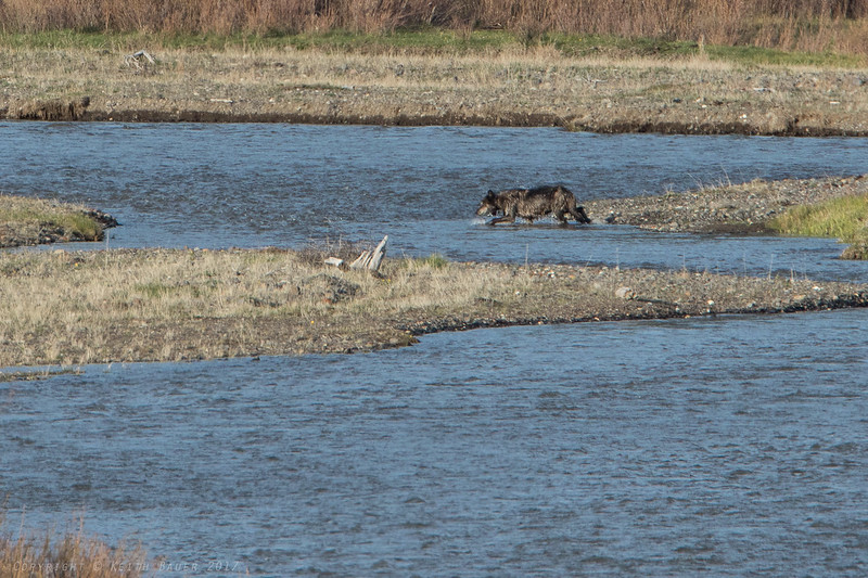 Wolf crossing the river