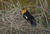 Yellow Headed Blackbird singing