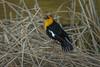 Yellow Headed Blackbird singing