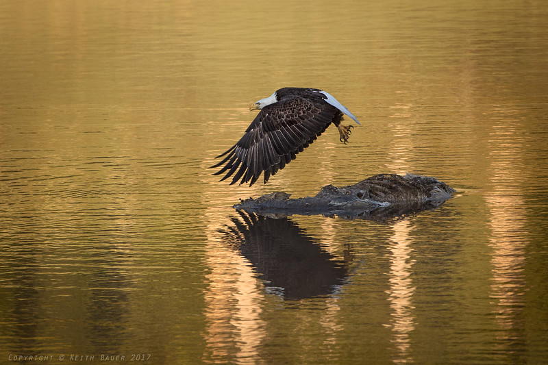 Bald Eagle - takeoff from a carcass #2