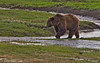 Grizzly Bear in the stream