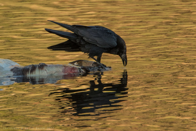 Raven getting a drink