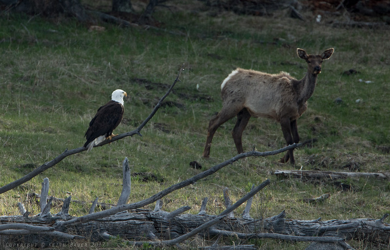 Eagle eyeing an Elk