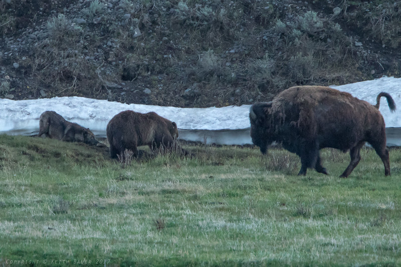 Grizzly and a Wolf working on a Bison Carcass with a Bison bystander