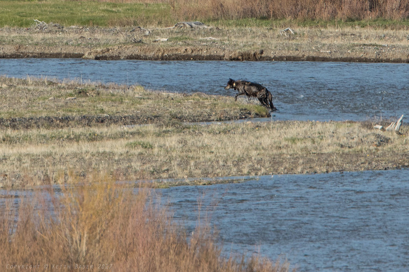 Wolf just after crossing the river