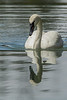 Trumpeter Swan pensive reflection