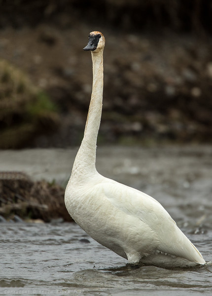 Trumpeter Swan - checking me out