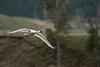 Trumpeter Swan Flight