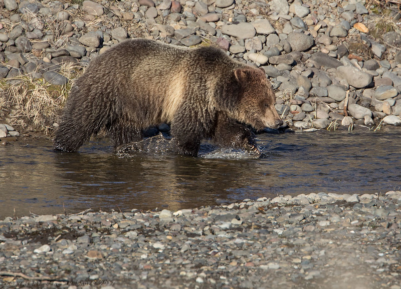 Grizzly crossing the stream