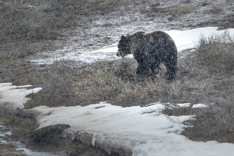 Male Grizzly in the snow