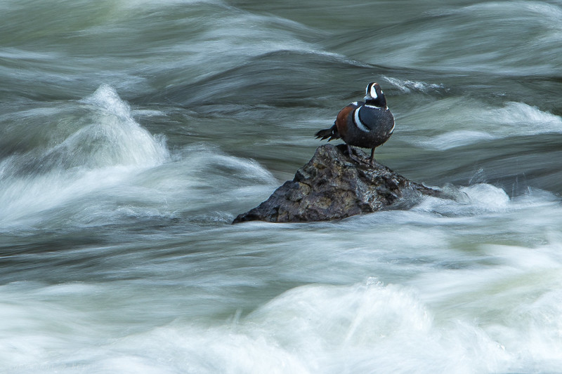 Harlequin on a rock in the rapid - slow shutter speed