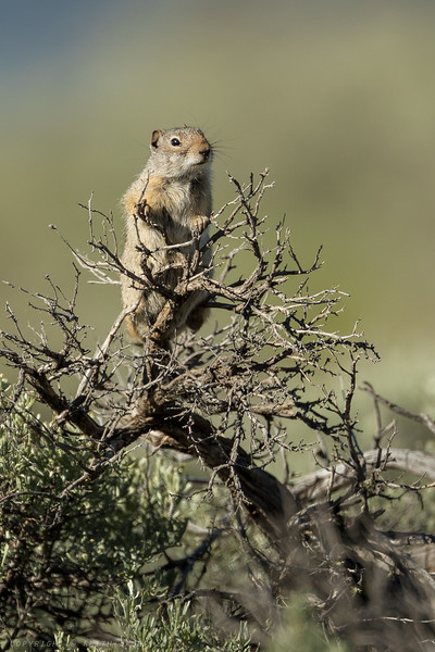 Ground squirrel sitting on top of some sage