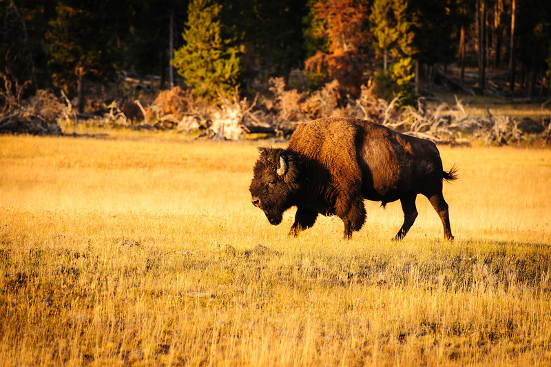 Cute Yellowstone Bison