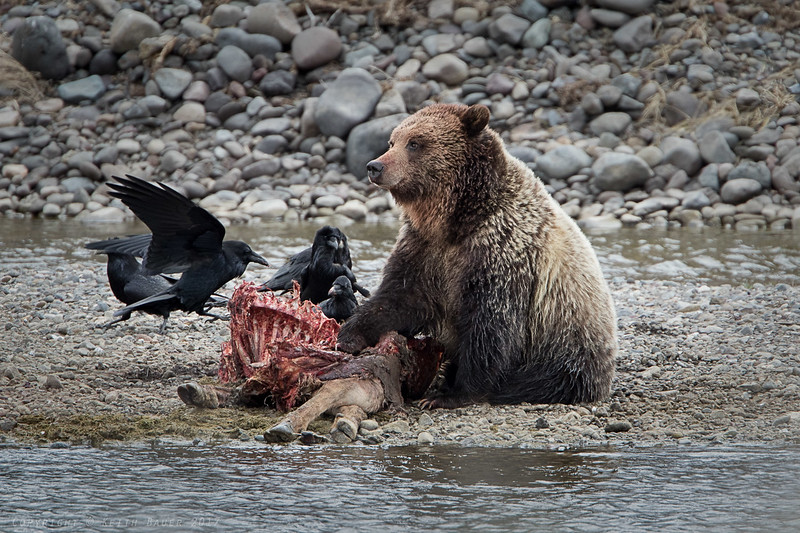 Grizzly resting while working on an Elk Carcass