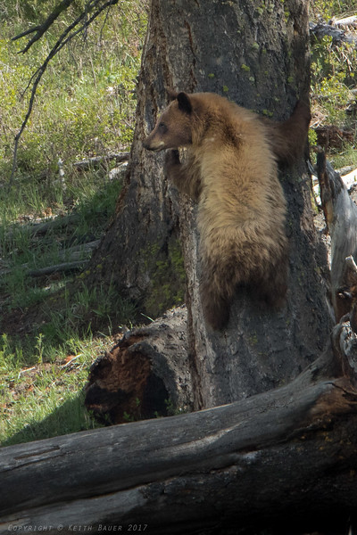 Cinnamon Black Bear starting up a tree