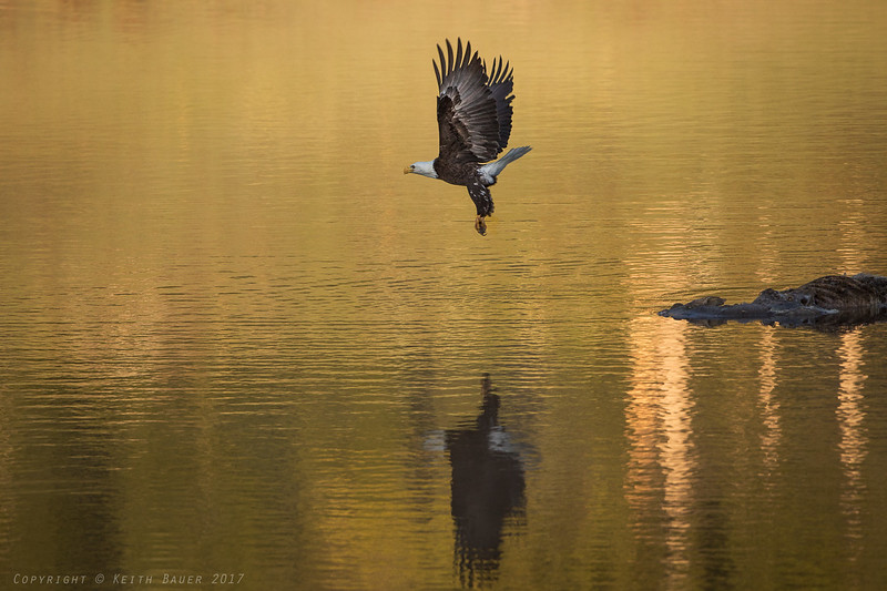 Bald Eagle - takeoff from a carcass #5