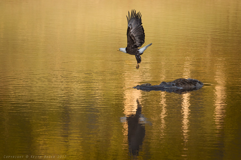 Bald Eagle - takeoff from a carcass #3