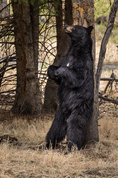 Black Bear Scratching his back