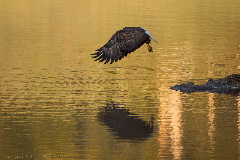 Bald Eagle - takeoff from a carcass #4