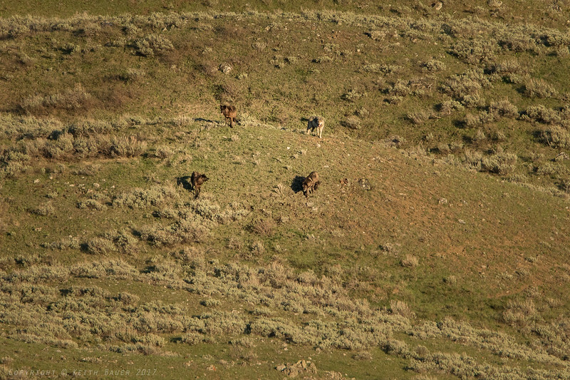Four Wolves on the ridge