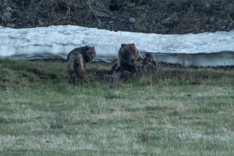 Grizzly and Wolf on a Bison Carcass