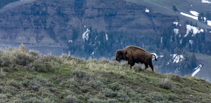 Bison on the ridge