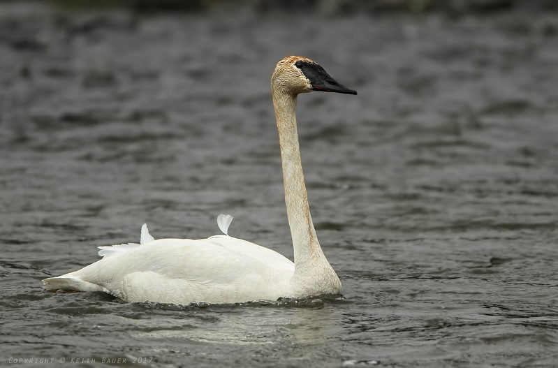 Trumpeter Swan - nice and close