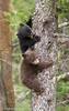 Black Bear Cubs Climbing Down the Tree