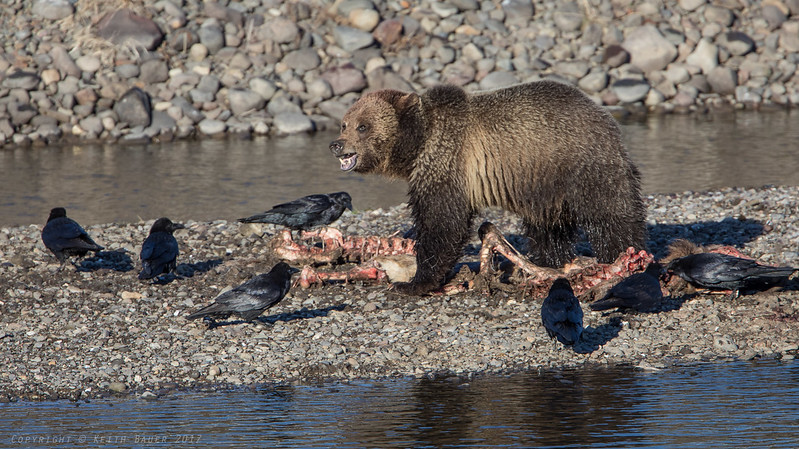 Grizzly on an Elk Carcass