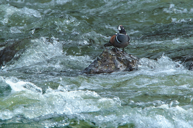 Harlequin on a rock in the rapid