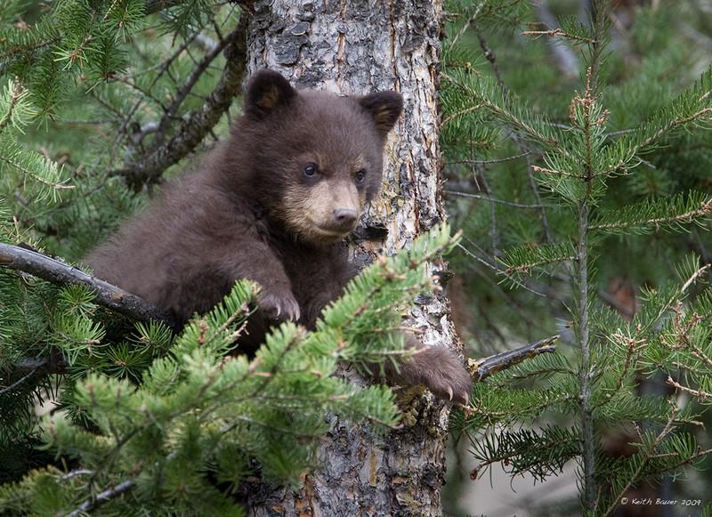 Black Bear Cub - Cinamon