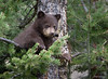 Black Bear Cub - Cinamon