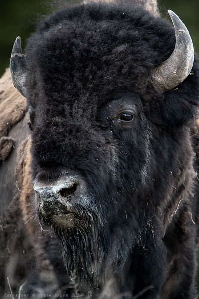 Bison close up #2
