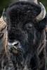 Bison close up #2