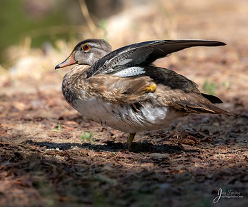 Wood duck Female