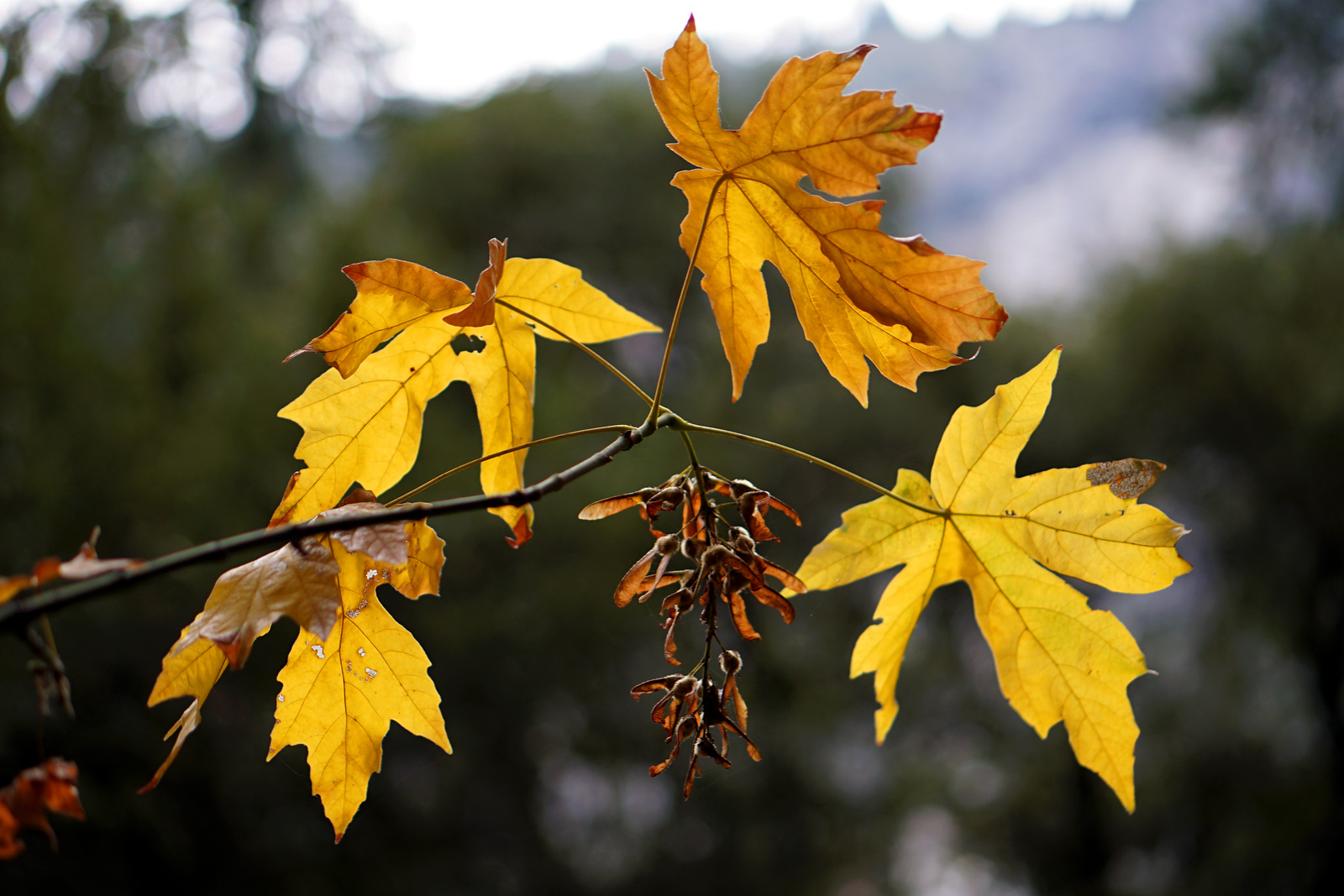 Fall Maple Leaves In Yosemite Valley