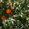 Orange trees in Selçuk. The air of the town is filled with the scent of the orange flowers.