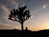 Joshua Tree profile