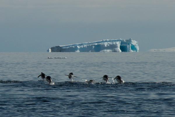 Penguin synchronized swimming