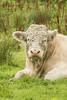 Handsome bull