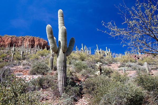 Stately saguaro