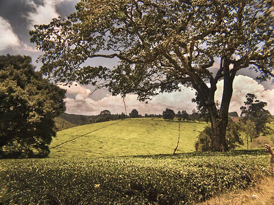 Tea Plantation, Nairobi, Kenya