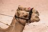 Camel duo