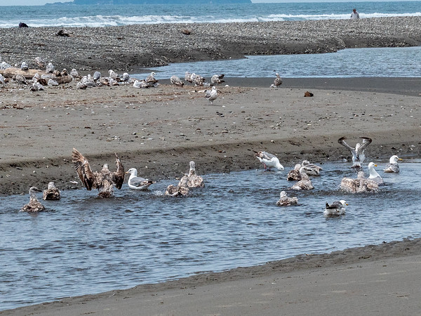 Seagulls bathing in fresh water