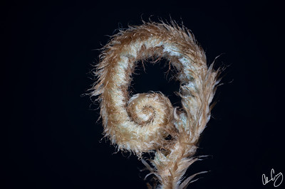 budding fern frond