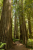 Path through the redwoods
