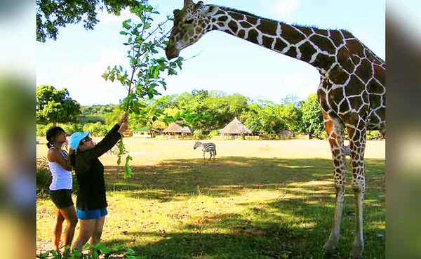 Giraffe at Calauit Island, Palawan