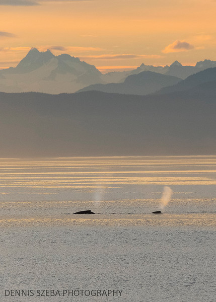 Two Humpback Whales spouting in the early morning. Alaska 2018