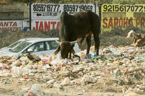 Sacred bull