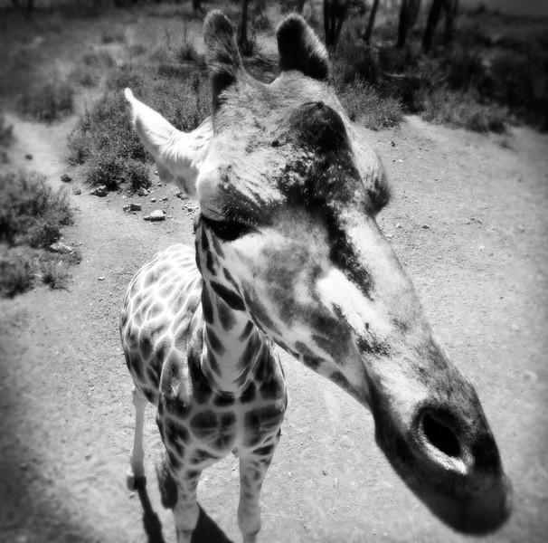 Giraffe on the outskirts of Nairobi